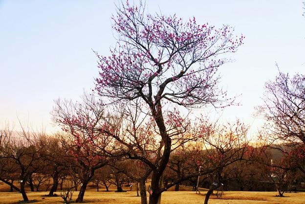 フラワーガーデン早咲の梅_5471
