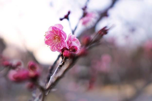 フラワーガーデン早咲の梅_5476
