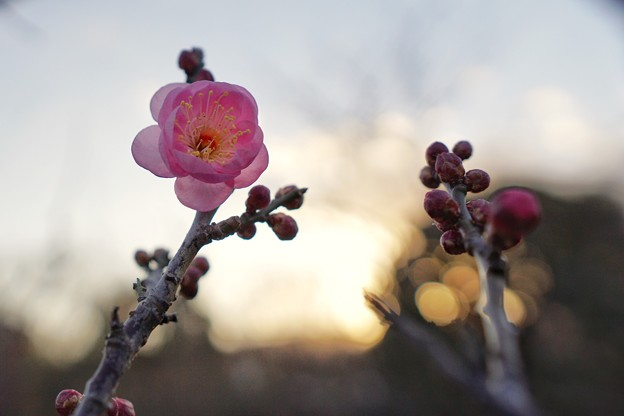 Photos: フラワーガーデン早咲の梅_5477