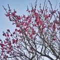 フラワーガーデン早咲の梅_5470