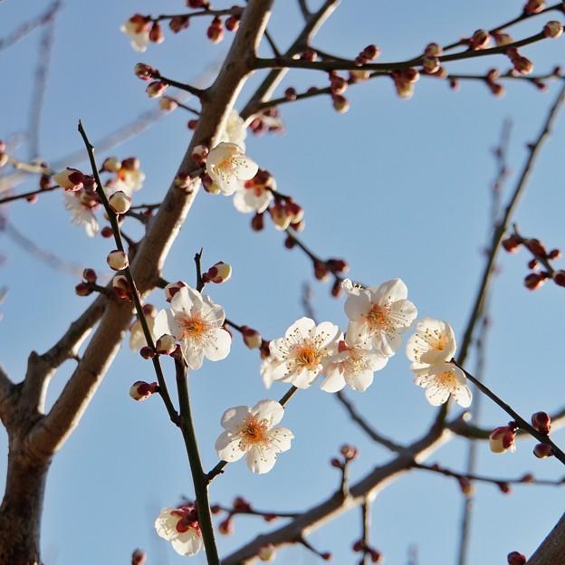 梅の花(花菜ガーデン)_5548