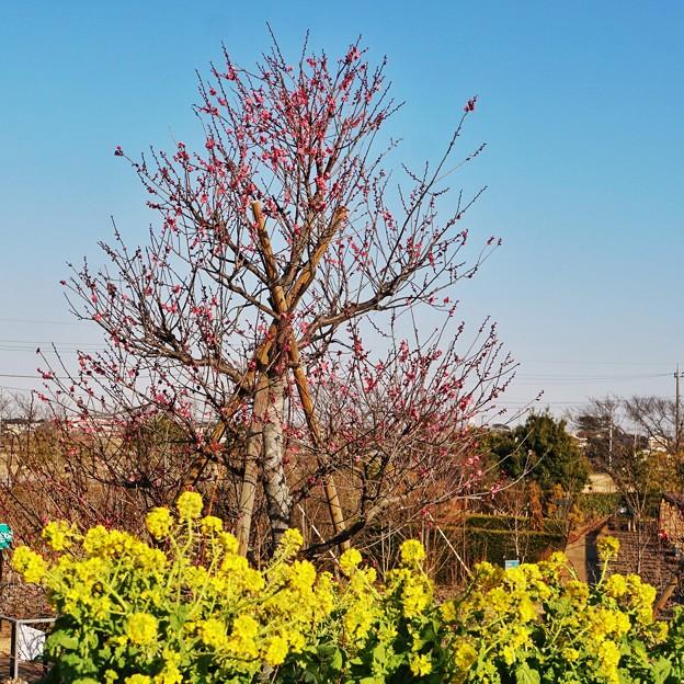 菜の花と(花菜ガーデン)_5546