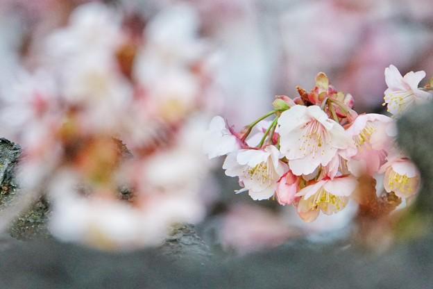 あたみ桜(糸川桜)_5700