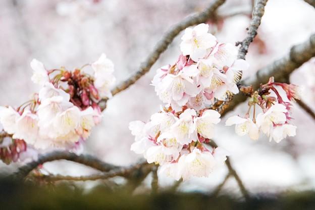 あたみ桜(糸川桜)_5701