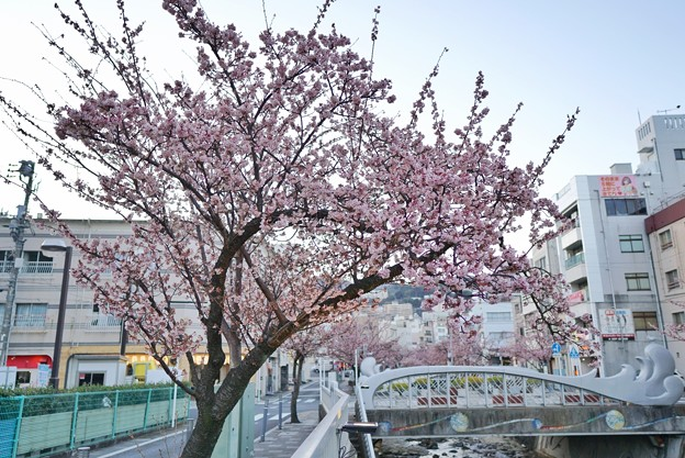 あたみ桜(糸川桜)_5705