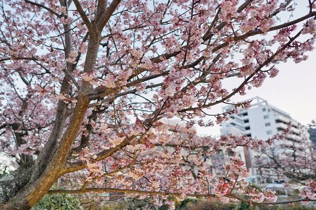 あたみ桜(糸川桜)_5708