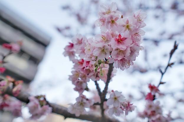 あたみ桜(糸川桜)_5711