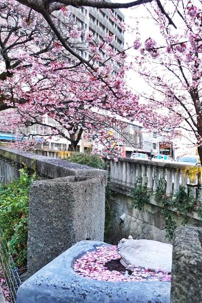 あたみ桜(糸川桜)_5713