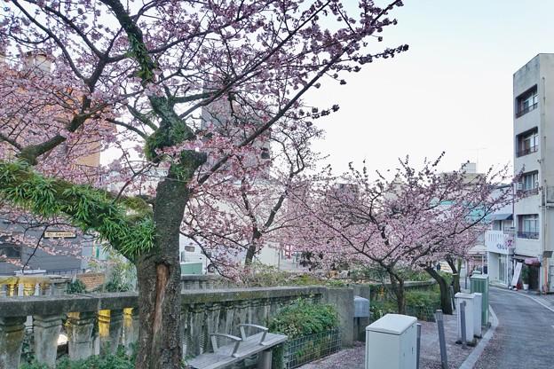 あたみ桜(糸川桜)_5715