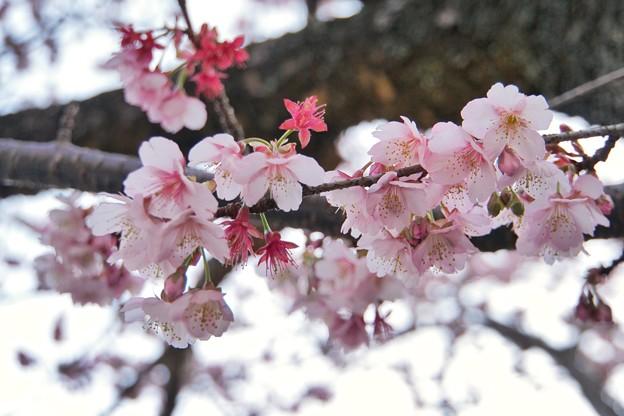 あたみ桜(糸川桜)_5716