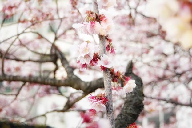 あたみ桜(糸川桜)_5702