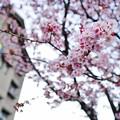あたみ桜(糸川桜)_5706