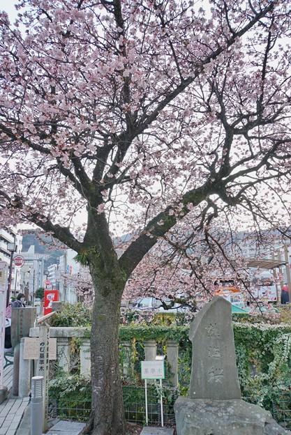 あたみ桜(糸川桜)_5718