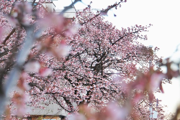 あたみ桜(糸川桜)_5703