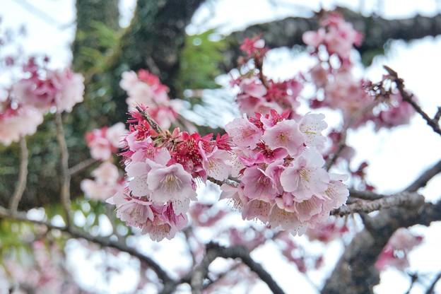 あたみ桜(糸川桜)_5714