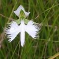 Photos: 湿原の中の鷺草