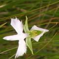 湿原の中の鷺草