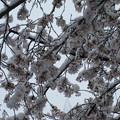 Photos: ただの雪見桜。