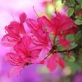 Photos: 芝桜の上のつつじ