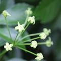 Photos: ウコギの花