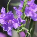 Photos: 紫つゆ草