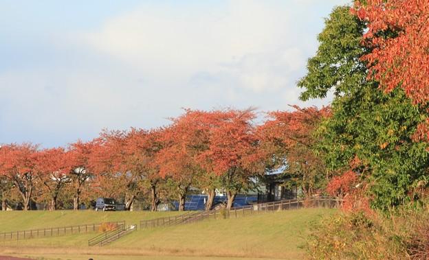 Photos: 紅葉の桜並木