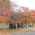 木枯らしの桜並木