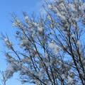 雪のカエデの木