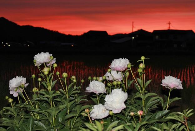 夕暮れ時の芍薬
