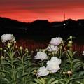 Photos: 夕暮れ時の芍薬