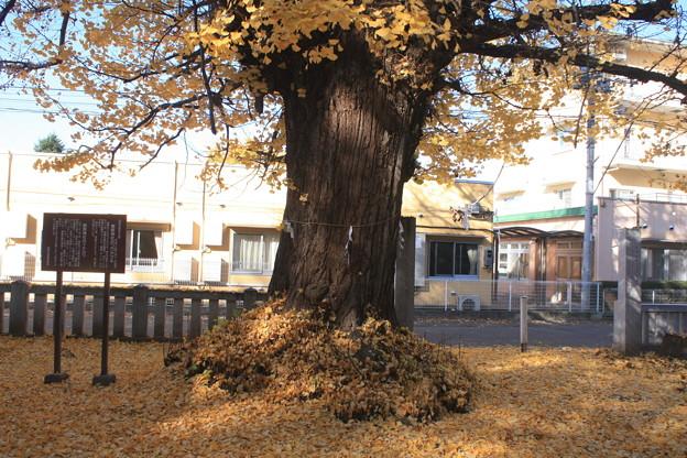 日本国 山梨県 笛吹市 八代町 熊野神社のイチョウ