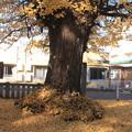 Photos: 日本国 山梨県 笛吹市 八代町 熊野神社のイチョウ