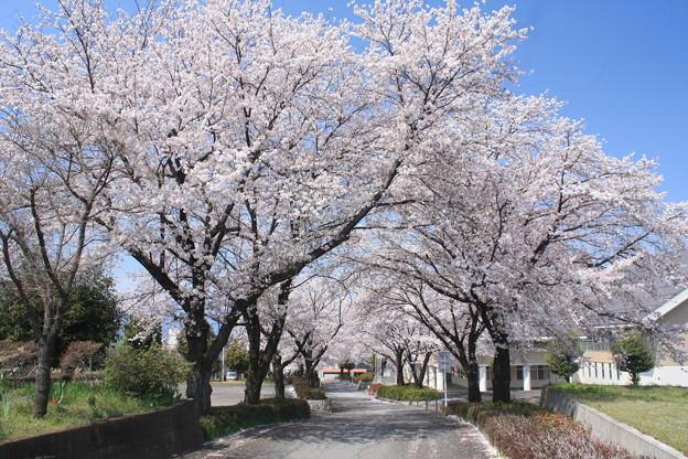 日本国 山梨県 笛吹市 八代町 ふれあいスポーツ館付近の桜