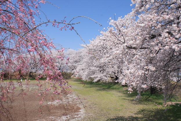 日本国 山梨県 笛吹市 八代町 小山城跡の桜