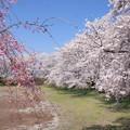 Photos: 日本国 山梨県 笛吹市 八代町 小山城跡の桜