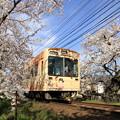 2550 嵐電桜のトンネル@京都