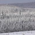 Photos: 2630 冠雪の森@アラスカ