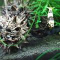 Photos: 20140513 60cmエビ水槽の稚エビ
