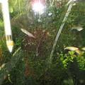 Photos: 20140513 60cmベランダ水槽のメダカ達