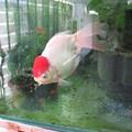 20170801 60Cmベランダ水槽の金魚