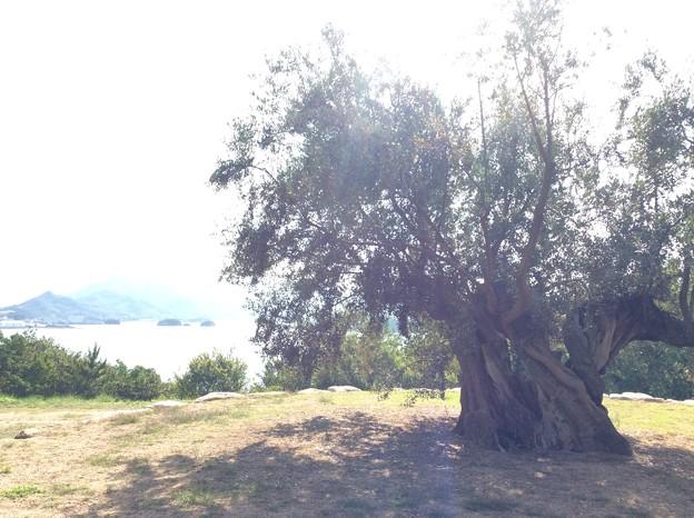 樹齢千年オリーブの木