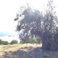 Photos: 樹齢千年オリーブの木