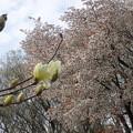 写真: 黄色のモクレンと山桜