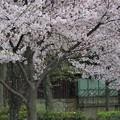 写真: 桜吹雪