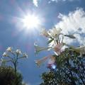 写真: 百合の花