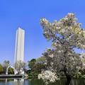 写真: 怪獣桜^^;