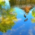 写真: 鴨たち
