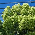 写真: クスノキ薫る
