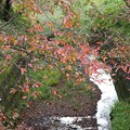 写真: 桜紅葉