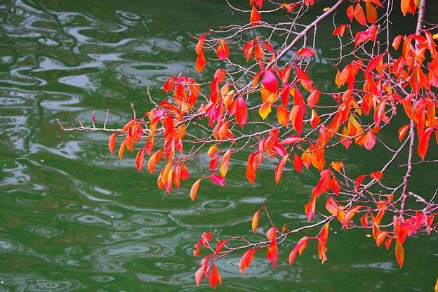 大川の桜紅葉